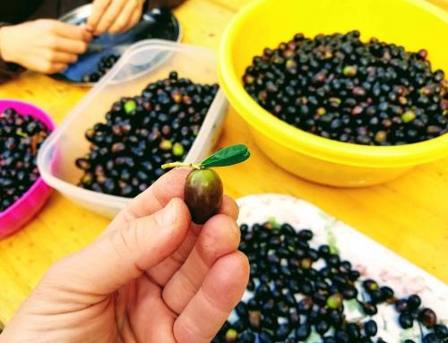 Glückliche Oliven-Ernte!