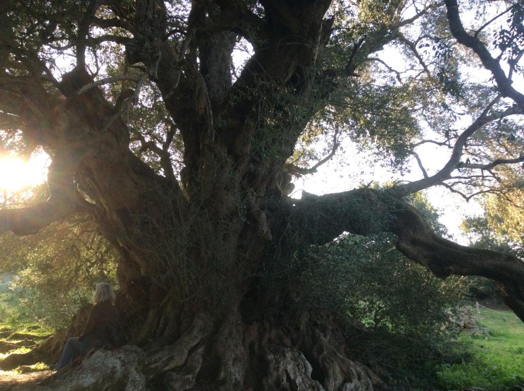 Olivenbäume können Tausende von Jahren alt werden und dennoch immer noch zahllose Früchte produzieren.