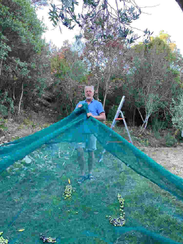 cheerful olive harvest Cala Jami 2020