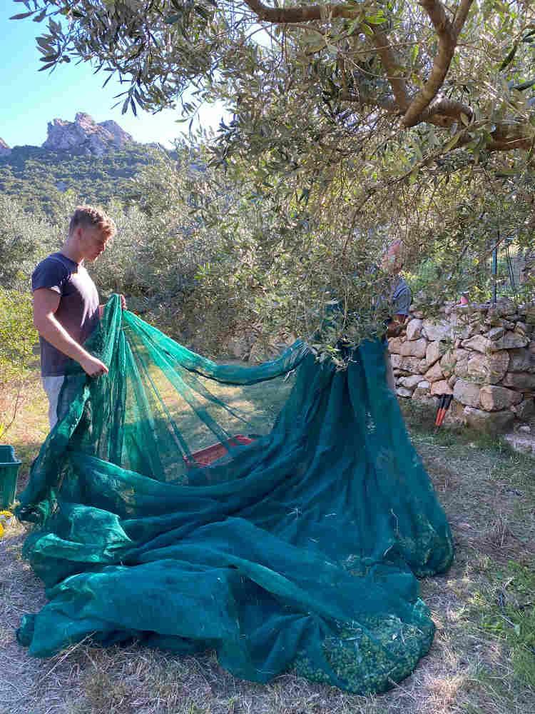 Sufi meditation camp Sardinia - olive harvest 2020