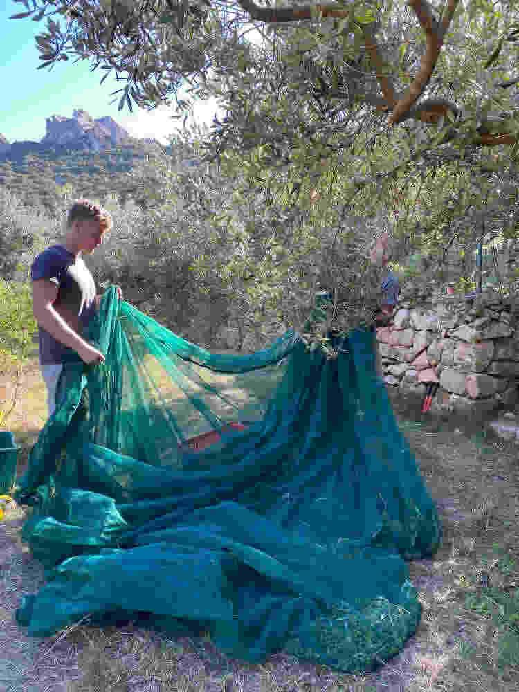 helping hands olive harvest 2020 Cala Jami