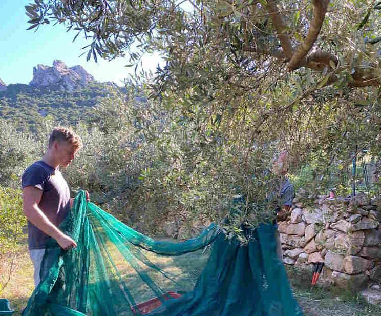 olive harvest Cala Jami Sufi Sardinia