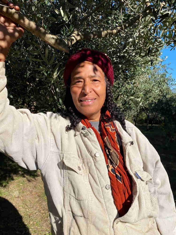 olive harvest Rashida